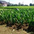 熱闘!里芋畑の草取りと追肥作業。ブレビス車のエアコン修理完了。
