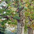 新宿御苑 プラタナス並木 色づき