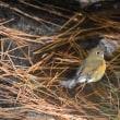 今週土曜日は渡り鳥調査隊です。