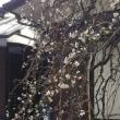 残雪と梅の花