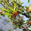 「柿」の収穫と「ゴーヤー」の解体・・・いわき