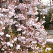 上品蓮台寺、本満寺の枝垂れ桜