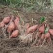 安納芋を掘る。