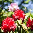 木漏れ日に輝く真紅のシャクナゲ (神宮徴古館)