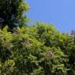 長居植物園のジャガランダ