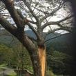 根こそぎになっていた桜の再生