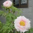 牡丹の開花