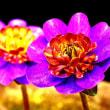 雪割草の花 7
