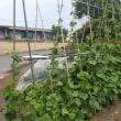 「蔓ありインゲン」の収穫が始まりました