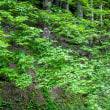 香嵐渓の青モミジ その4