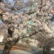 昨日は楽しすぎて桜の存在薄すぎ。