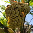 棕櫚の花が咲く