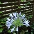 アダパンサス:庭の花