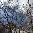 2018年2月17日 活動報告 梅の開花と環境整備