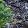 福井 鳩ケ湯温泉のアオバト