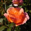 秋薔薇 鑑賞 横浜イングリッシュガーデンにて