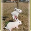 No.2469 田園の中に☆ゆきたん☆に似たウサギさんが現れたことも・・・