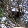 木登りクラウス。