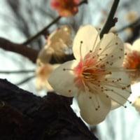 梅見物~小石川