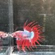 熱帯魚の入荷