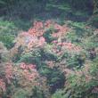 長月十七日、秋海棠―grow naturally