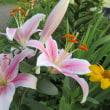 今日も庭のお花を色々UPです