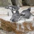 フンボルトペンギン夫婦