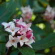 後楽園庭園  カタクリの花