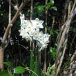 白さが違います。スイセンの花