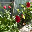 酷暑39℃に咲くバラ~ ウッドデッキより