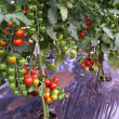 果実野菜を収穫