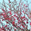 鹿児島紅と謎の梅