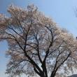 某所の桜(4月20日更新)