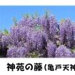 神苑の藤(亀戸天神社)