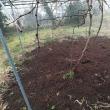 ブドウの木に堆肥を散布