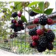 夏の初めの味覚(^^♪ビタミンCとアントシアニンたっぷり 体に優しい「ブラックベリー」の果実