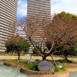 橋本公園の河津桜咲き始めた!