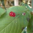 栂池の秋色 ④ オオヒョウタンボクの実
