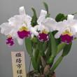 C. Mikkie Nagata'Orchidlibrary'