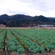「田上遺跡キャベツ」畑と南郷の山/昨日の散歩から