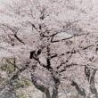 少し加工してみた。近所の桜