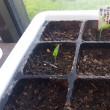 ピーマン12個蒔いて5個の発芽です