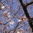 桜満開まで秒読みだよ~