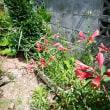 梅雨の晴れ間。 今日の庭