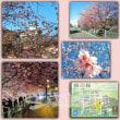 掛川桜、満開です