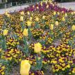 楽書き雑記「チューリップとビオラがコラボした花壇=名古屋・東山 植物園」