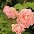 夕方の庭の花