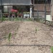 トウモロコシ・時間差栽培