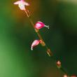 小さな小さなミズヒキの花