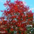 「県立谷戸山公園」紅葉の衣を纏い始めた!!